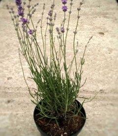 Lavandula angustifolia 'Middachten', Лаванда вузьколиста 'Міддахтен'