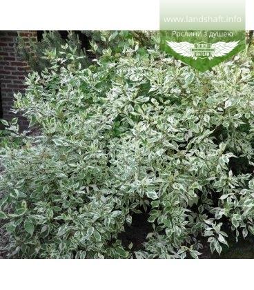 Cornus alba 'Elegantissima' Дерен белый 'Элегантиссима'