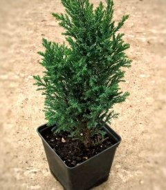 Chamaecyparis lawsoniana 'Ellwoodii' Кипарисовик Лавсона