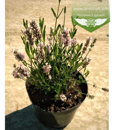 Lavandula angustifolia 'Ellagance Pink', Лаванда вузьколиста 'Елаганс Пінк'