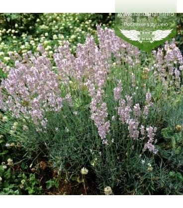 Lavandula angustifolia 'Rosea' Лаванда узколистная 'Розеа'