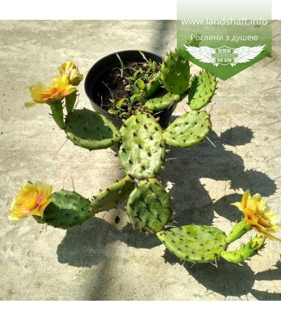 Opuntia compressa, Опунція розпростерта