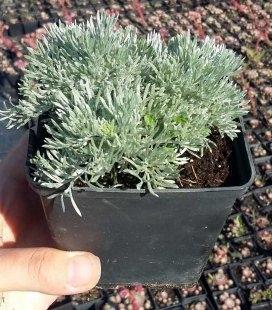 Artemisia schmidtiana 'Nana', Полин Шмідта 'Нана'