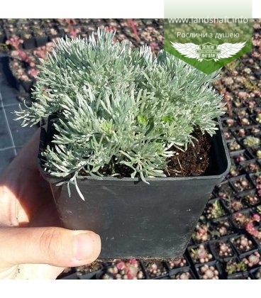 Artemisia schmidtiana 'Nana' Полынь Шмидта