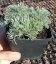 Artemisia schmidtiana 'Nana' Полин Шмідта 'Нана'