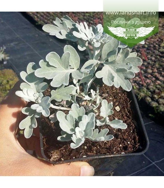 Artemisia stelleriana 'Boughton Silver', Полин Стеллера 'Болтон Сілвер'