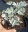 Artemisia stelleriana 'Boughton Silver' Полин Стеллера 'Ботон Сілвер'