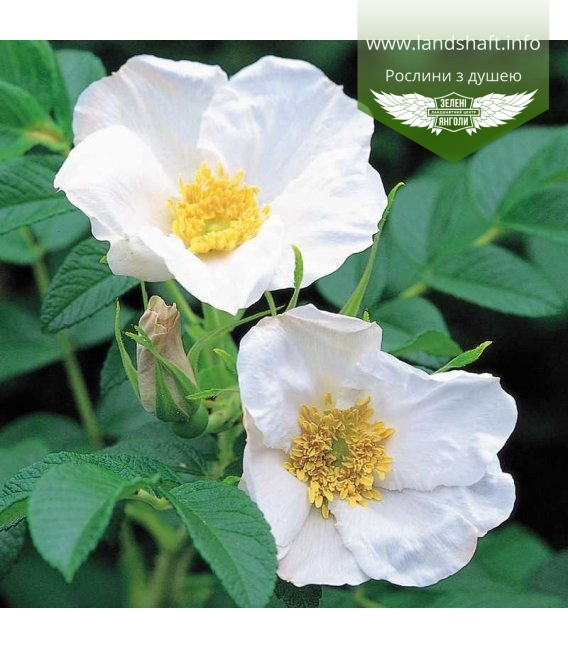 Rosa rugosa 'Alba' Шиповник морщинистый 'Алба'