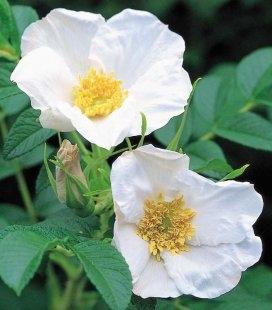 Rosa rugosa 'Alba', Шипшина зморшкувата 'Алба'