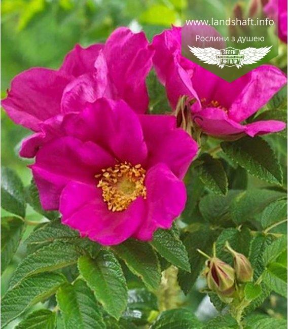 Rosa rugosa 'Rubra' Шиповник морщинистый 'Рубра'