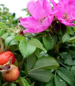 Rosa rugosa 'Rubra', Шипшина зморшкувата 'Рубра'