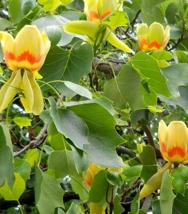 Liriodendron tulipifera Ліріодендрон тюльпановий