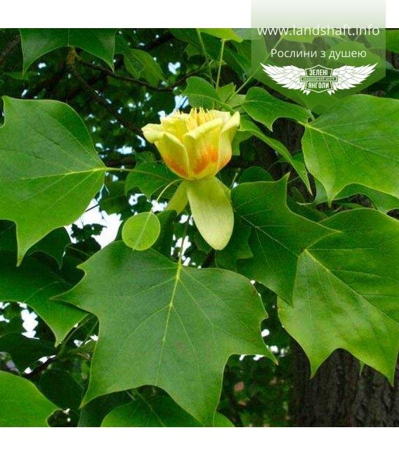Liriodendron tulipifera, Ліріодендрон тюльпановий