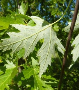 Acer saccharinum, Клен сахаристый