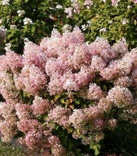 Hydrangea paniculata 'Bobo' Гортензія волотиста 'Бобо'