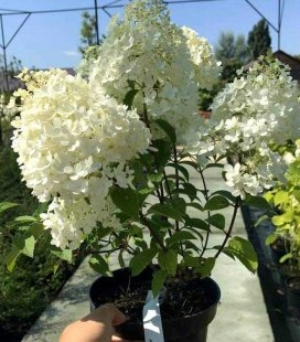 Hydrangea paniculata 'Bobo', Гортензия метельчатая 'Бобо'