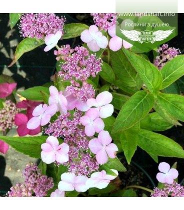 Hydrangea serrata 'Bluebird' Гортензия пильчатая 'Блюберд'