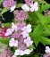 Hydrangea serrata 'Bluebird', Гортензія пильчата 'Блубьорд'