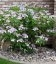 Hydrangea serrata 'Bluebird' Гортензія пильчата 'Блубьорд'