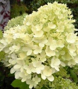 Hydrangea paniculata 'Magical Candle' Гортензия метельчатая 'Мэджикэл Кэндл'