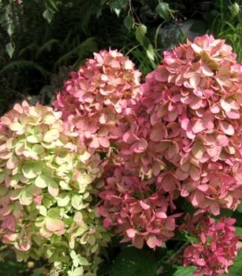 Hydrangea paniculata 'Magical Candle', Гортензия метельчатая 'Мэджикэл Кэндл'