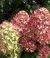 Hydrangea paniculata 'Magical Candle' Гортензія волотиста 'Меджікал Кендл'