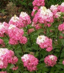Hydrangea paniculata 'Sundae Fraise', Гортензия метельчатая 'Сандей Фрайз'