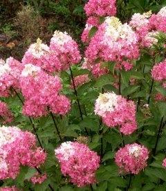 Hydrangea paniculata 'Sundae Fraise', Гортензія волотиста 'Сандей Фрайз'