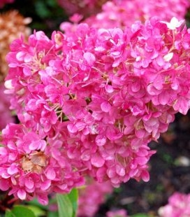 Hydrangea paniculata 'Sundae Fraise' Гортензія волотиста 'Сандей Фрайз'