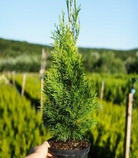 Thuja occidentalis 'Smaragd' Туя западная 'Смарагд'
