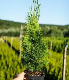 Thuja occidentalis 'Smaragd', Туя західна 'Смарагд'