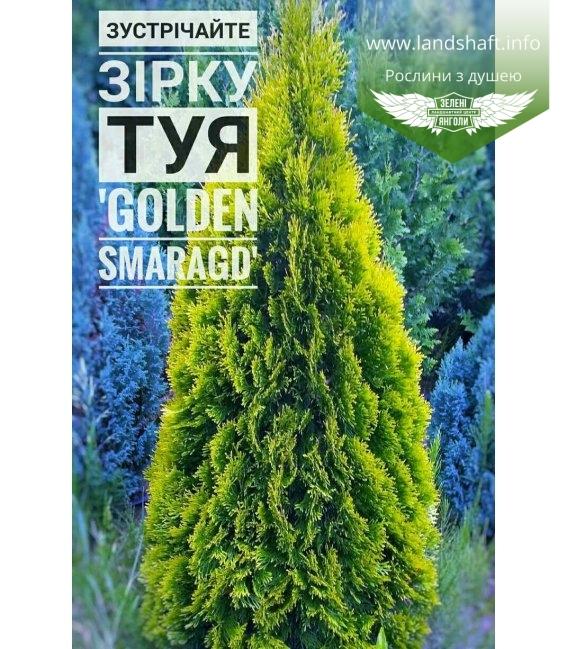 Thuja occidentalis 'Golden Smaragd', Туя західна 'Голден Смарагд'