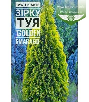 Thuja occidentalis 'Golden Smaragd' Туя західна