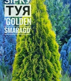 Thuja occidentalis 'Golden Smaragd' Туя западная