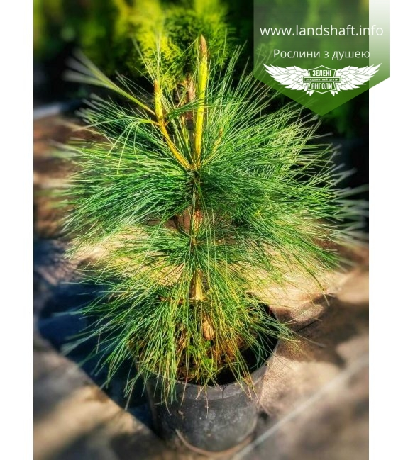 Pinus wallichiana Сосна гималайская