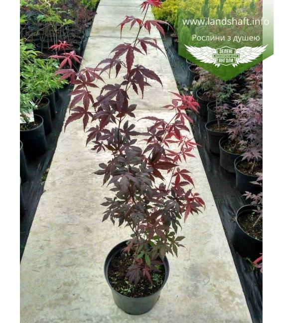 Acer palmatum 'Atropurpureum' Клен пальмолистный