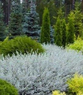 Salix repens 'Nitida', Ива ползучая 'Нитида'