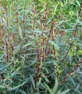 Salix purpurea 'Nana' Ива пурпурная 'Нана'
