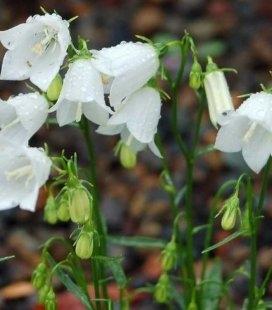 Campanula cochleariifolia 'Bavaria White', Дзвоники спіральнолисті 'Баварія Вайт'