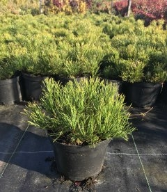 Pinus mugo var. mughus Сосна горная 'Мугус'