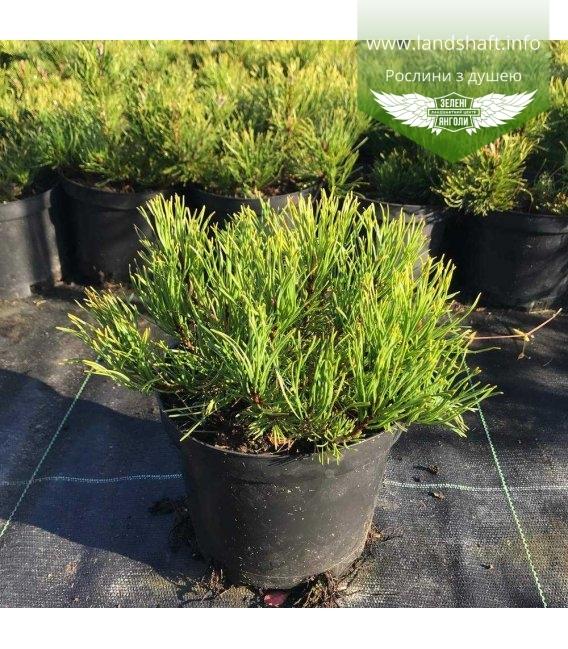 Pinus mugo 'Mughus', Сосна гірська 'Мугус'