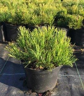 Pinus mugo 'Mughus', Сосна горная 'Мугус'