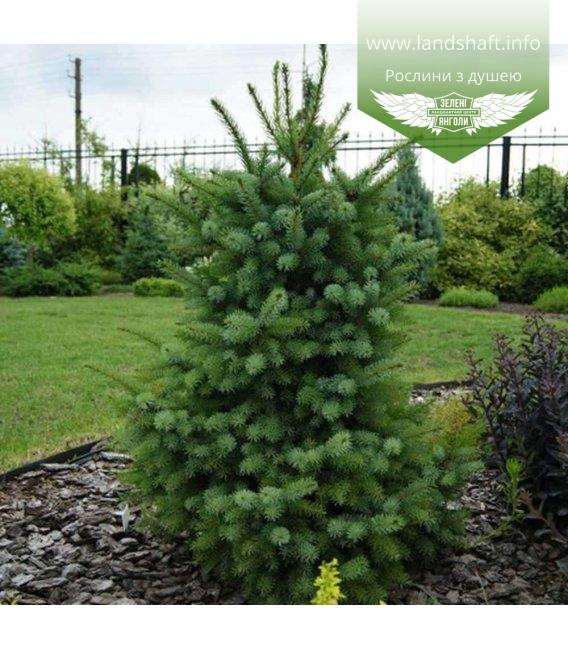 Picea omorika 'Zuckerhut', Ялина сербська 'Зукерхут'