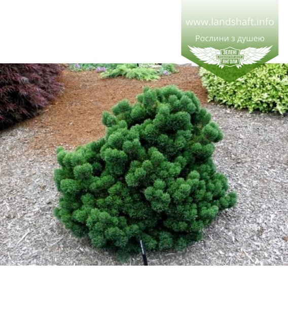 Pinus mugo 'Jakobsen', Сосна гірська 'Якобсен'