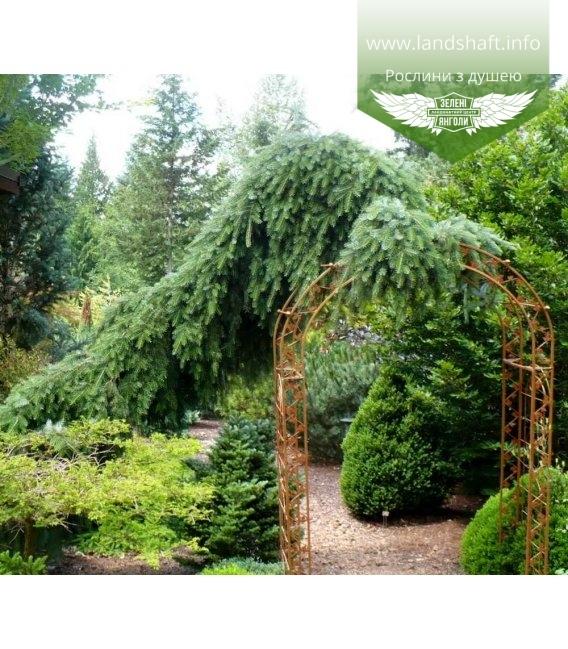 Picea omorika 'Pendula Bruns' Ель сербская 'Пендула Брунс'