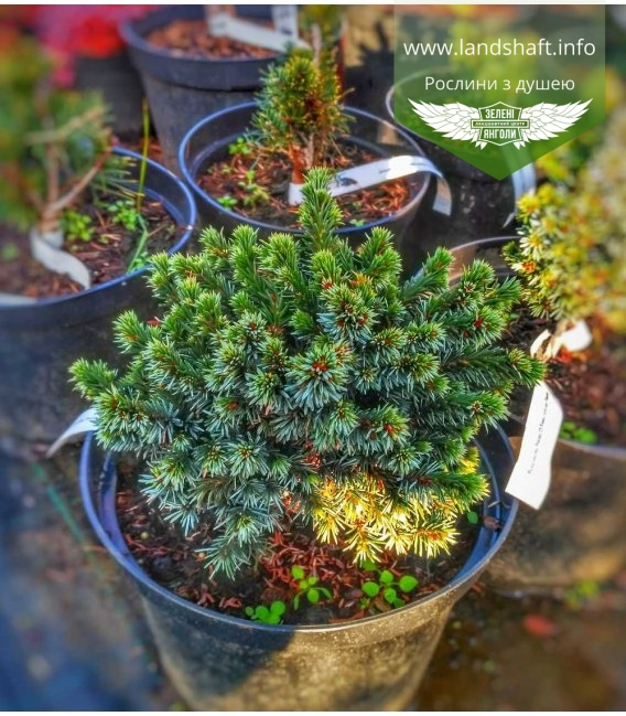 Picea omorika 'Pimoko', Ялина сербська 'Пімоко'