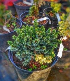 Picea omorika 'Pimoko', Ель сербская 'Пимоко'