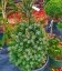 Picea omorika 'Zuckerhut' Ялина сербська 'Зукерхут'