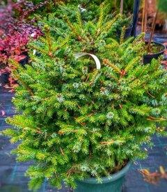 Picea omorika 'Nana', Ель сербская 'Нана'