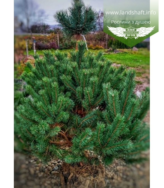 Pinus syslvestris 'Norske Typ' Сосна обыкновенная 'Норске Тип'